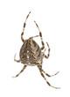 European garden spider, Araneus diadematus, hanging