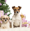 Shih Tzu and Jack Russell Terrier sitting