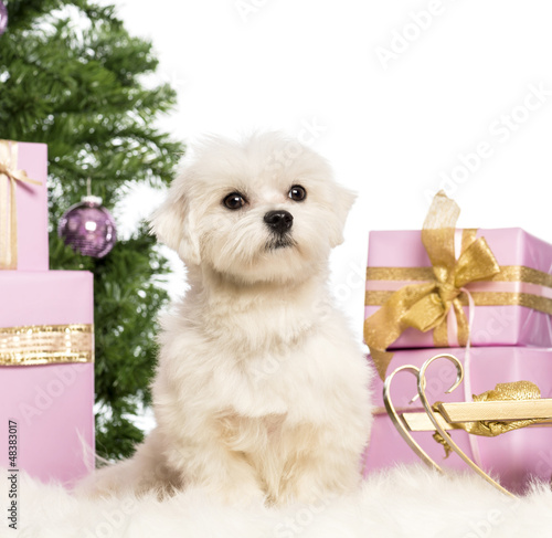 Maltese sitting in front of Christmas decorations