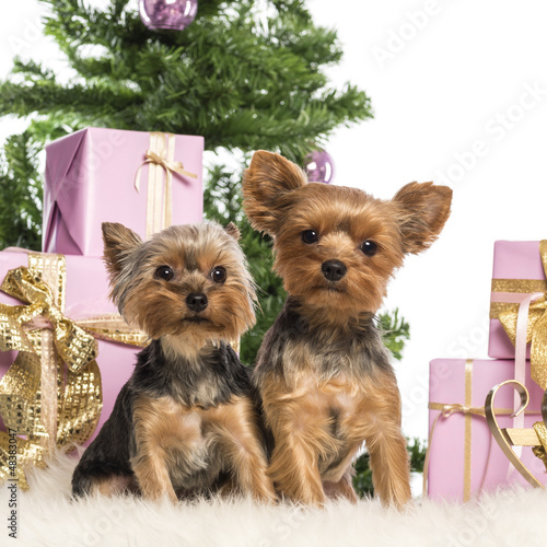 Two Yorkshire Terriers sitting in front of Christmas decorations