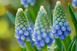 canvas print picture - blaue Traubenhyazinthen - Muscari