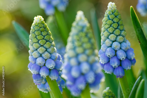 canvas print picture blaue Traubenhyazinthen - Muscari