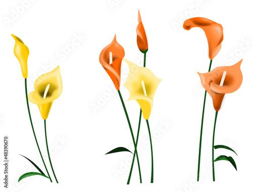 Fleur d'Arum
