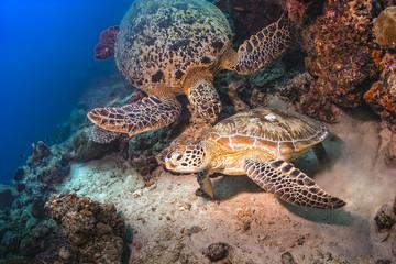 Two Sea Turtles fighting for territory underwater in Malaysai