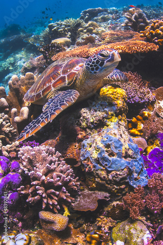 Sea turtle sitting on a colorful reef underwater in Malaysia