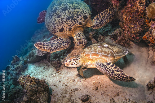 Two Sea Turtles fighting for territory underwater in Malaysai