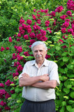 Old male gardener at the rose bush stands with folded arms