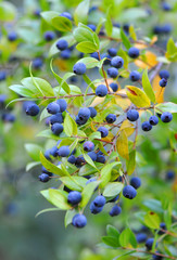 Myrtle berries on branches