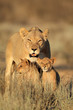 obraz - Lioness with cubs