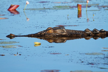 Saltwater crocodile, Kakadu N/P