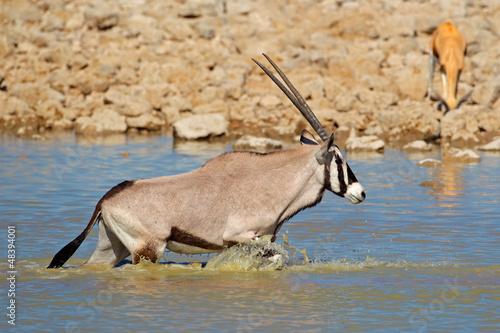 Gemsbok antelope in water, Etosha N/P