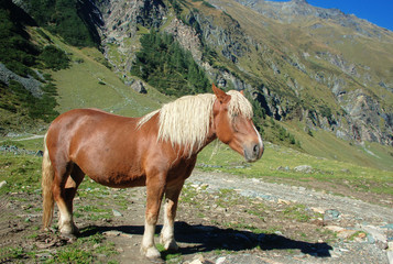 Beautiful Horse in the Alps