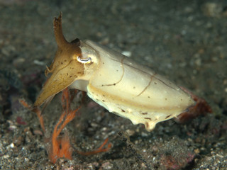 Stumpy-Spined Cuttlefish