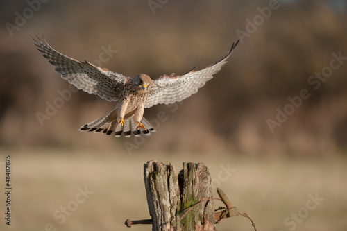 Kestrel in flight.