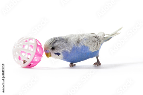 Playful Parakeet