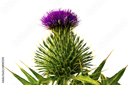 Silybum marianum - milk thistle flower isolated on white