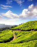 mountain tea plantation in India