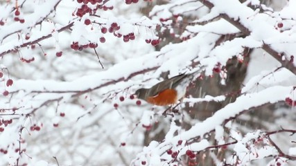 American Robin bird eating berries in the snow