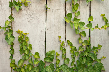 Close up wooden fence covered in ivy