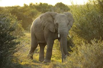 Elefante e natura