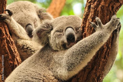 Poster Oceanië Sleeping koalas