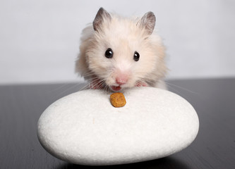 the hamster gnaws cheese