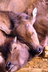 Sleeping water buffalo calves in Vietnam