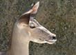 Portrait of a Kudu