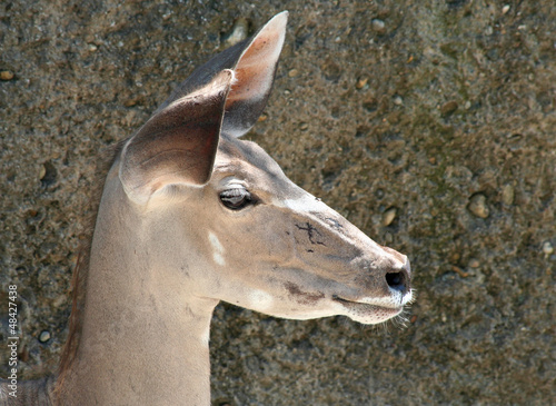 Portrait of a Kudu