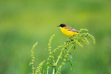 Motacilla flava feldegg (Blue-headed Wagtail)