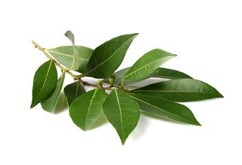 Fresh branch of laurel