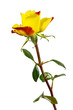 eine gelbrote Rose