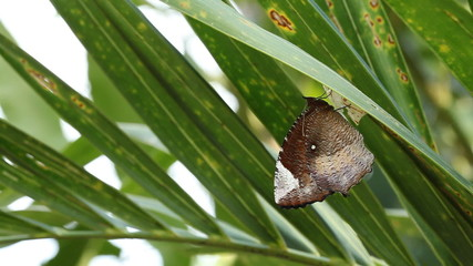 Butterflies out of pupa
