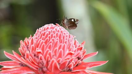 Butterflies are nectar