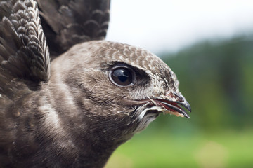 Portrait of an Young Eurasian Swift  / Apus apus