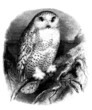 A Bird : Snow Owl (Strix Nyctea)