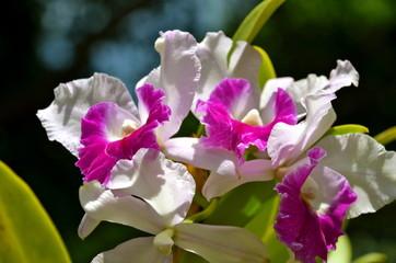 Cattleya Hybrid Orchid in Singapore Botanic Garden