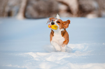 beagle dog winter fun