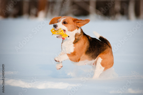 beagle dog running and playing with a toy
