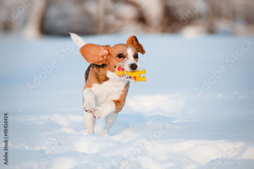 beagle dog running with a toy