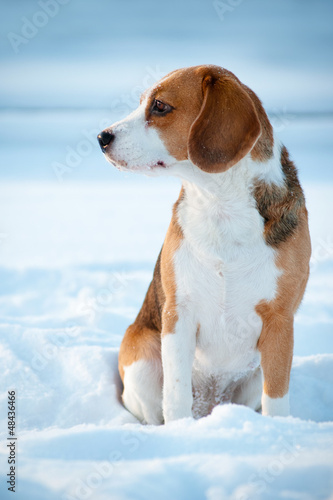 beagle dog winter portrait