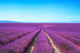 Fototapety Lavender flower blooming fields on sunset. Valensole provence