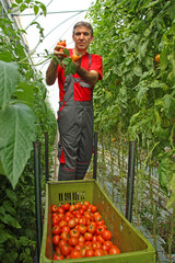 Farmer picking tomato in a greenhouse