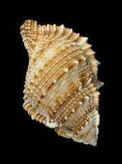 Shell Rapana