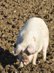 Happy adult female pig,sow rooting in mud