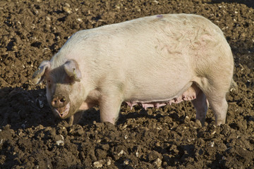 Happy adult female pig rooting in mud