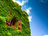 Ivy and window - 48444636