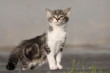 Kesser Katzenwelpe