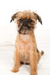 lovely Brussels Griffon puppy