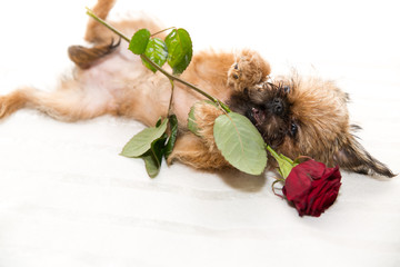 Lover Valentine griffon puppy with a red rose